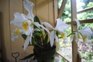 flora series: White Cattleya Orchid