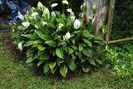 flora series: PeaceLilies