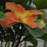 flora series: hibiscus