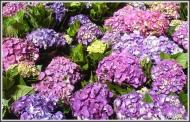 Flower Series: Hydrangeas