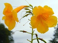 Flower Series: Yellow Bells