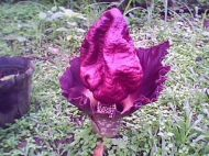 Bukidnon Flowers: The Corpse Plant